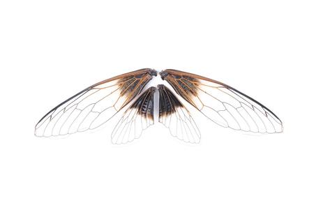 Cicada isolated on white background photo