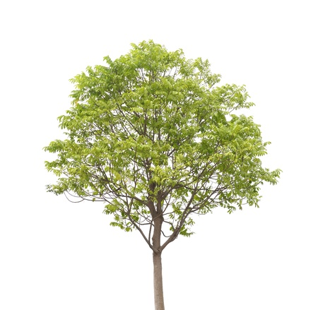 Drzewa samodzielnie na białym tle Zdjęcie Seryjne