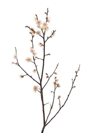 arbol de pascua: blanco ciruela bloossom
