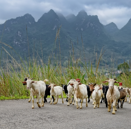 flock of goat in the mountains at summer,landscape in Yangshuo Guilin, China photo