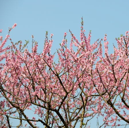 Branch with pink blossoms photo