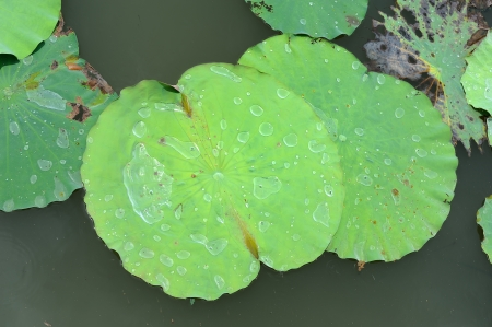 lotus leaves floating in pool photo