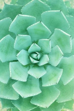 agave: Afilado señaló hojas de la planta de agave