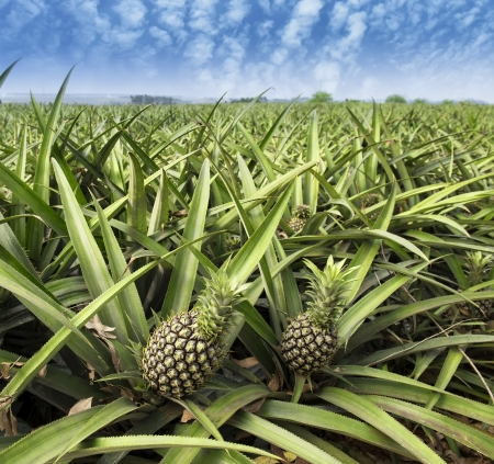 Pineapple fruit on the bush photo