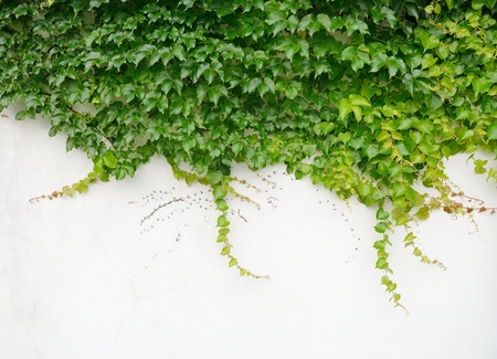 ivy wall: ivy leaves isolated on a white background