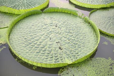 Huge floating lotus,Giant Amazon water lily,Victoria amazonia photo