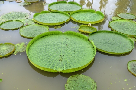 Huge floating lotus,Giant Amazon water lily,Victoria amazonia photo