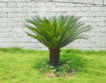cycas: branches of a Sago Palm