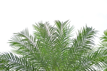 palm garden: palm tree isolated on white background