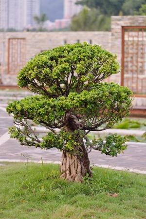 bonsai tree in the garden photo