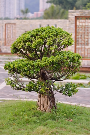 hinoki:  bonsai tree in the garden