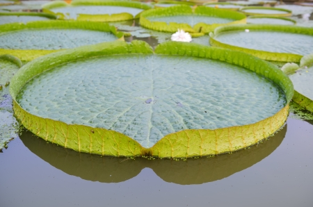 water lilly: Huge floating lotus,Giant Amazon water lily,Victoria amazonia