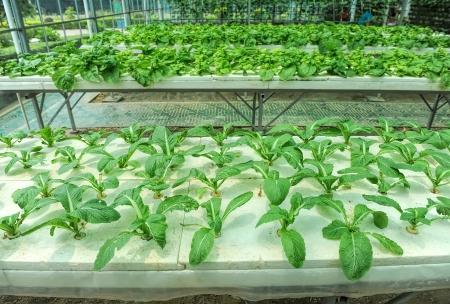 hydroponic: Hydroponic farm