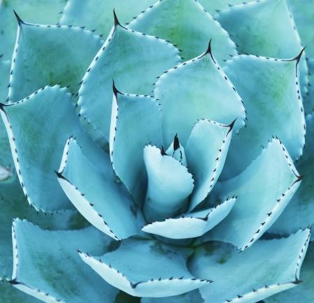 Sharp zeigte Agave Blätter Standard-Bild