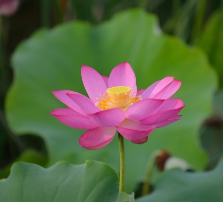 nelumbo nucifera: blooming lotus flower