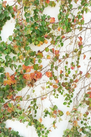 vine border: ivy leaves isolated on a white background