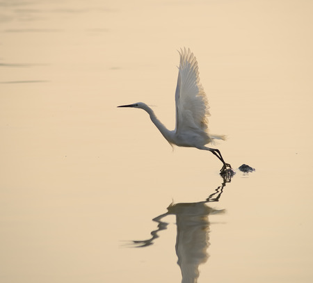 bird feet: egrets play in sunset Stock Photo