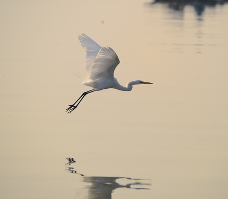 egret: egrets play in sunset Stock Photo