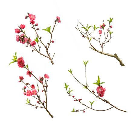 flor de durazno: flores de color rosa