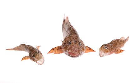 stingfish: scorpion fishes