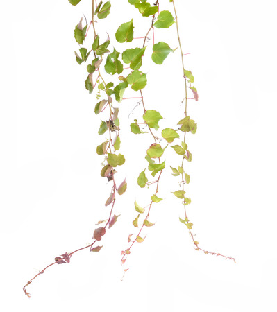 ivy leaves isolated on a white background Stock Photo - 28098391