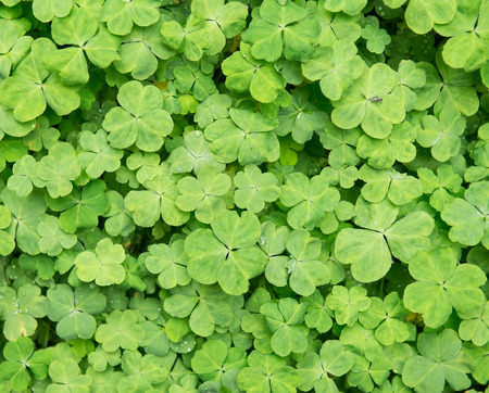 four leafed: three shamrock leaves in a clover patch