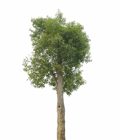 greenness: camphor tree isolated on white