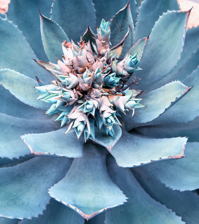 mexico background: Sharp pointed agave plant leaves