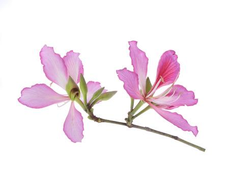 ebony tree: Hong Kong Orchid  Stock Photo