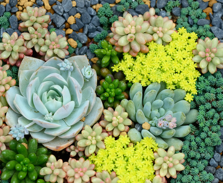 ornamental plant: Miniature succulent plants Stock Photo