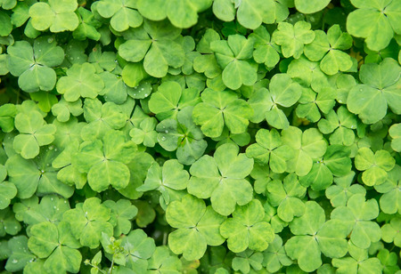 hree shamrock leaves in a clover patch photo