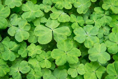 three leaved: hree shamrock leaves in a clover patch