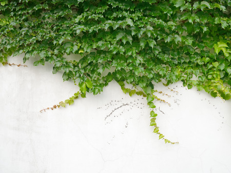 bordered: ivy leaves isolated on a white background