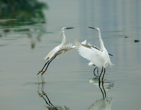 White Egret photo