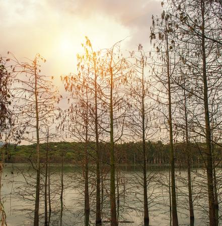 metasequoia: metasequoia tree in water Stock Photo