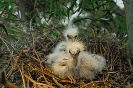 great egret chicks in nest photo