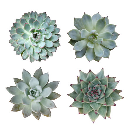 plant growing: Miniature succulent plants Stock Photo