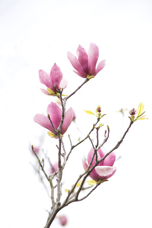 Pink magnolia flowers isolated on white background photo