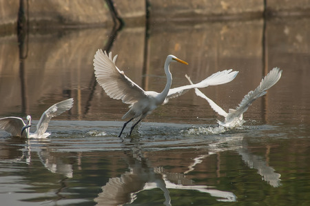 egrets: White Egrets