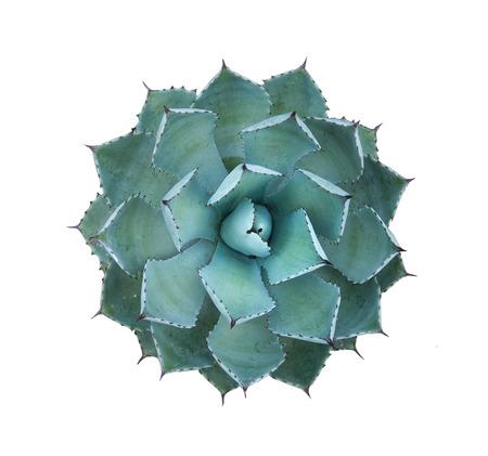 agave: Puntiagudas hojas de agave planta Foto de archivo