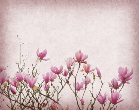 Pink magnolia flowers on old paper background photo
