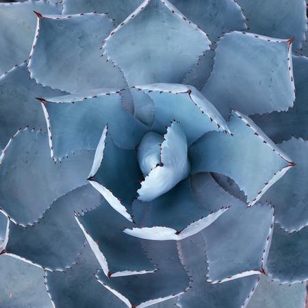 desierto: Afiladas hojas de plantas de agave en punta Foto de archivo