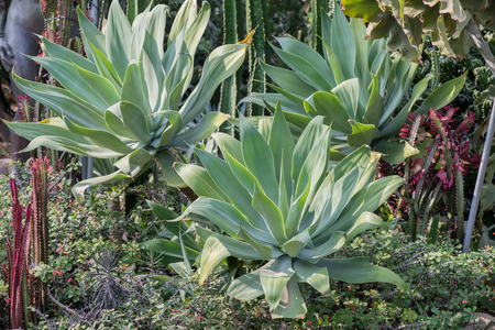 agave: Afiladas hojas de plantas de agave en punta Foto de archivo