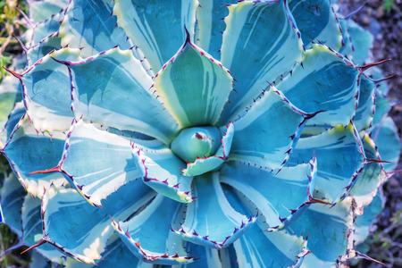 plantas del desierto: Afiladas hojas de plantas de agave en punta Foto de archivo