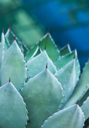 thorns  sharp: Sharp pointed agave plant leaves