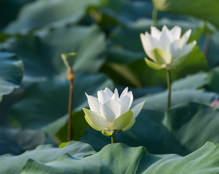 White lotus flower Stock Photo