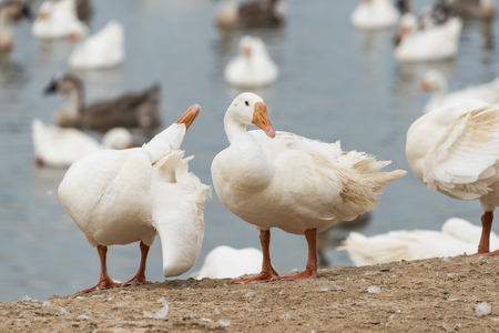 cackle: Geese at a farm