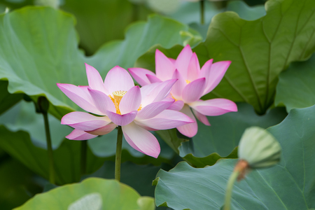 waterlilly: blooming lotus flower over dark background
