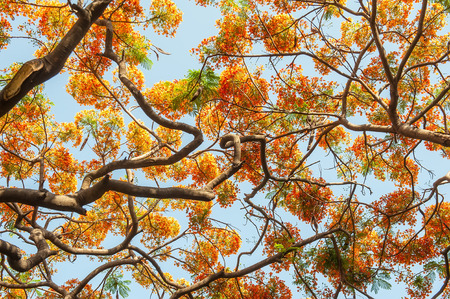 colourful sky: Peacock flowers on poinciana tree