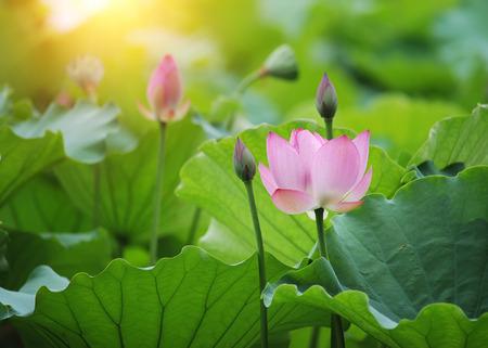 Blühende Lotusblüte Standard-Bild - 45301715